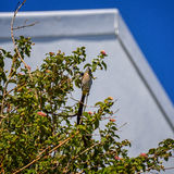 海角Sugarbird和木蜂 免版税库存照片