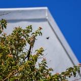 海角Sugarbird和木蜂 库存照片
