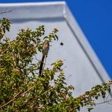 海角Sugarbird和木蜂 库存图片