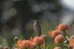 海角Sugarbird坐橙色Fynbos,看左,南Afr 库存图片