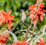 海角Sugarbird 免版税库存图片