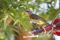 海角sugarbird (Promerops cafer) 库存图片