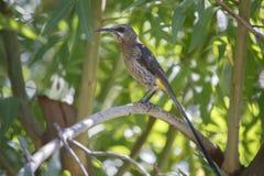 海角sugarbird (Promerops cafer) 免版税图库摄影
