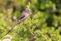 海角sugarbird Promerops cafer 免版税库存图片