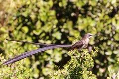 海角sugarbird Promerops cafer 库存图片