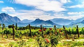 海角Winelands的葡萄园在Franschhoek谷的在南非的西开普省 免版税图库摄影