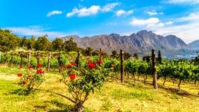 海角Winelands的葡萄园在Franschhoek谷的在南非的西开普省 免版税库存照片