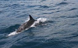 海豚主导的方式 免版税库存图片