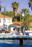 海豚动物哺乳动物的鲸类动物齿鲸社交动物 免版税图库摄影