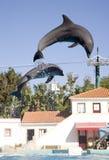 海豚动物哺乳动物的鲸类动物齿鲸社交动物 图库摄影
