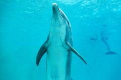 海豚在一个大水池游泳 免版税库存图片