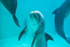 海豚在一个大水池游泳 库存照片