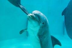 海豚在一个大水池游泳 库存图片