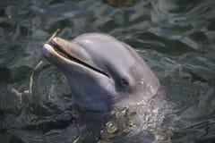 海豚在古巴夏天 免版税库存照片