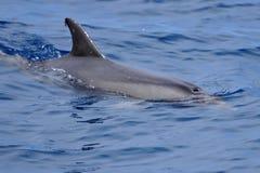 海豚在大西洋中水  免版税库存图片