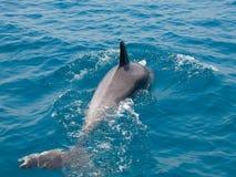 海豚在天蓝的水中 库存照片