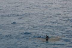 海豚在海运 库存图片