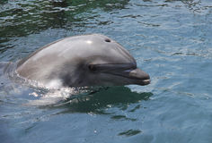 海豚在海运 库存照片