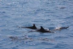海豚在海洋在马尔代夫海 库存照片