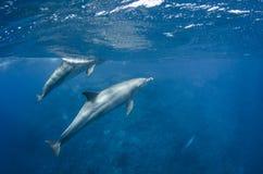 海豚在海洋任意游泳 免版税库存照片