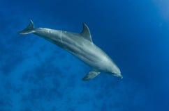 海豚在海洋任意游泳 免版税库存图片