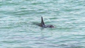 海豚在猴子Mia鲨鱼湾国家公园吹水在慢动作 股票视频