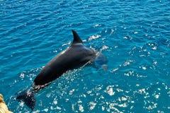 海豚在红海 库存照片