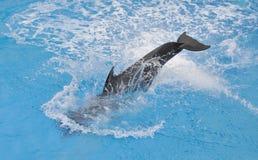海豚在水中 库存图片