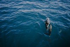 海豚在水中 库存照片