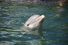海豚在水中 免版税库存图片
