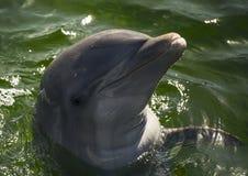 海豚在水中 免版税库存照片