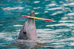 海豚在水的戏剧圆环 免版税库存图片