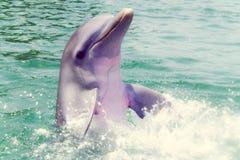 海豚在Caribe 库存照片