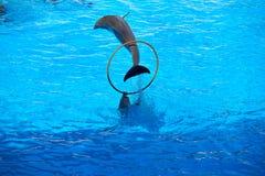 海豚在Loro公园显示 Loro Parque 西班牙 库存图片