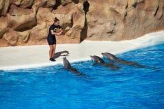 海豚在Loro公园显示 Loro Parque 西班牙 库存照片