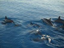 海豚在Maledives海 图库摄影