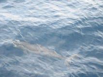 海豚在Mirissa/斯里兰卡前面的海 免版税库存图片