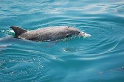 海豚埃里克 库存图片