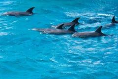 海豚家庭在狂放的 免版税库存图片