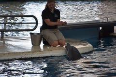 海豚展示在巴尔的摩,马里兰 图库摄影