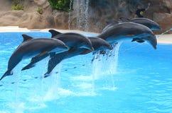 海豚展示在Loro公园在特内里费岛的,加那利群岛普埃尔托德拉克鲁斯 免版税图库摄影