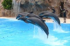 海豚展示在Loro公园在特内里费岛的,加那利群岛普埃尔托德拉克鲁斯 库存照片