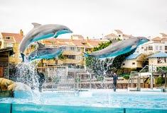 海豚展示在Selwo小游艇船坞 库存图片