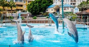 海豚展示在Selwo小游艇船坞 免版税图库摄影
