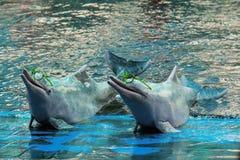 海豚展示穿戴玻璃 免版税库存图片