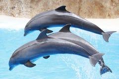 海豚展示 库存照片