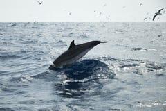 海豚属在大西洋游泳 免版税库存图片