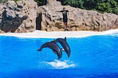 海豚教练员被推出水 库存图片