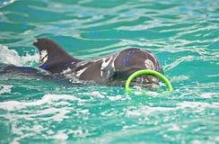 海豚有一个绿色圆环 免版税库存图片