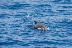 海豚来更加接近 免版税库存图片